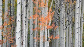 Aspens in Autumn, Colorado