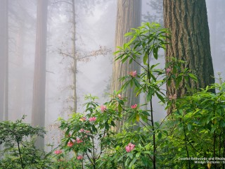 Coastal Redwoods and Rhododendrons, California