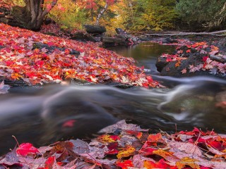 Madawaska River and Maple Leaves, Algonquin Park, Ontario