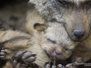 Bat-Eared Fox Pup, Masai Mara, Kenya