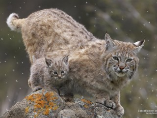Bobcat Mother and Kitten