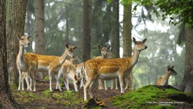 Fallow Deer, Lower Saxony, Germany