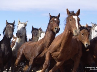 Galloping Wild Mustangs