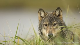 Gray Wolf, Great Bear Rainforest, British Columbia