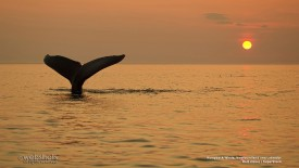 Humpback Whale, Newfoundland and Labrador