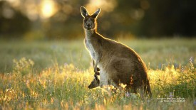 Kangaroo With Joey, Australia