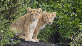 Lion Cubs, Masai Mara National Reserve Kenya