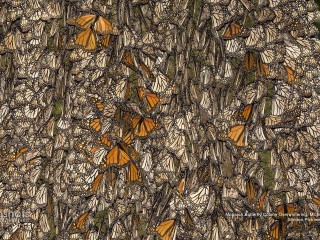 Monarch Butterfly Colony, Overwintering, Michoacan, Mexico