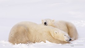 Mother Polar Bear With Cubs, Churchill, Manitoba