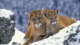 Mountain Lion Mother and Cub, Rocky Mountains, Canada