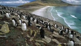 Rockhopper Penguins, Saunders Island, Falkland Islands