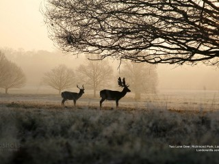 Two Lone Deer, Richmond Park, London, England