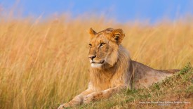 Young Lion, Maasai Mara National Reserve, Kenya