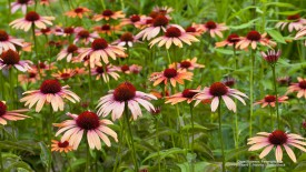 Cone Flowers, Pennsylvania