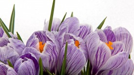 Dutch Crocus