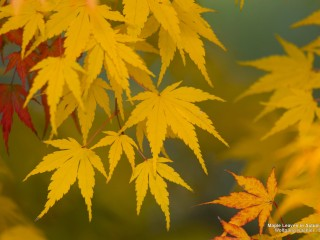 Maple Leaves in Autumn, Washington