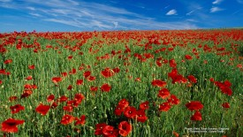 Poppy Field, East Sussex, England