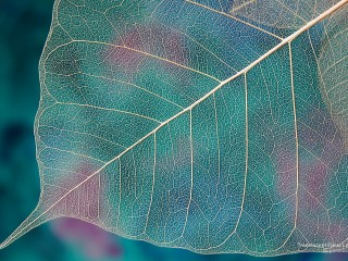 Translucent Ficus Leaf Skeleton
