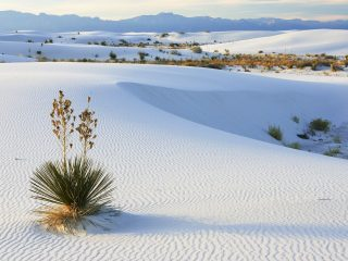 Soaptree Yucca and Gypsum Sand, White Sands National Monument, New Mexico