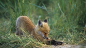 A Good Stretch, Fox Kit, Ontario