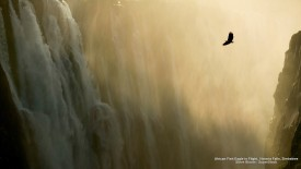 African Fish Eagle in Flight, Victoria Falls, Zimbabwe