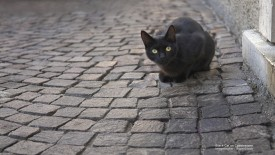 Black Cat on Cobblestone