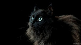 Black Maine Coon