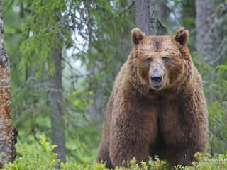 Brown Bear, Finland