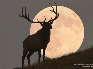 Bull Elk and a Full Moon in Yellowstone, Wyoming