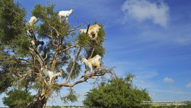 Climbing Goats in an Argan Tree, Morocco