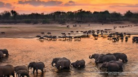 Elephants and Cape Buffaloes, Luangwa River, Zambia