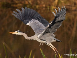 Grey Heron in Flight, Hesse, Germany