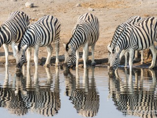 Herd of Burchells Zebras, Etosha National Park, Namibia