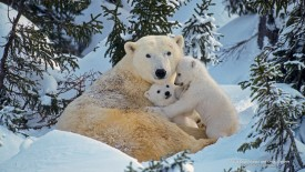 Polar Bear Female and Cubs, Canada