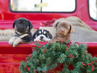 Puppies at Christmas