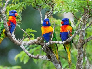 Rainbow Lorikeets, Queensland, Australia
