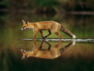 Red Fox Walking in Water