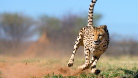 Running Cheetah, Namibia