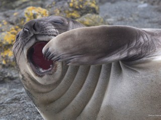 Sleepy Elephant Seal, Macquarie Island