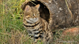 The Endangered Black-Footed Cat, South Africa