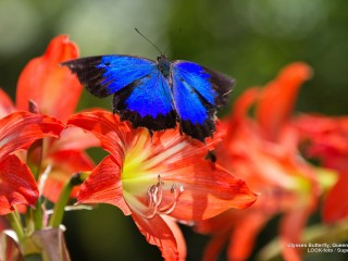 Ulysses Butterfly, Queensland, Australia