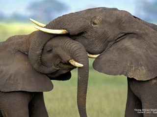 Young African Elephants, Kenya