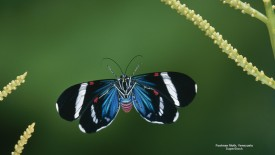 Footman Moth, Venezuela