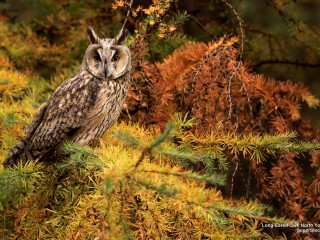 Long-Eared Owl, North Yorkshire, England