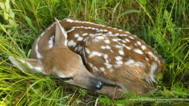 Newborn White-Tailed Deer, Shenandoah National Park,