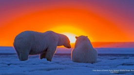 Polar Bears at Sunset, Arctic National Wildlife Range, Alaska