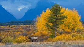 Roosevelt Elk in Autumn, Grand Teton N.P., Wyoming