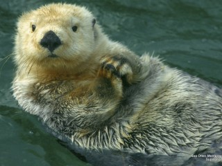 Sea Otter, Monterey, California