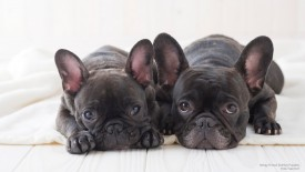 Sleepy French Bulldog Puppies