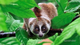 Slow Loris, Sumatra, Indonesia